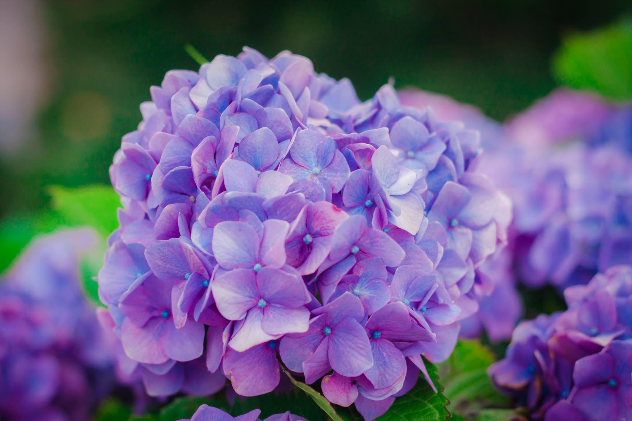 Hoa ở Gamagori (Nguyễn Quốc Tuấn)